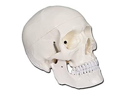 Gima - Skull Model, White, Value Line, Separable into 3 parts, for Teaching, Medical Practice, Students, Magnification 1 X by Gima S.p.a.