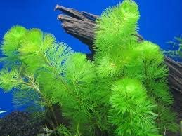 Dichondra 100 Over item handling ☆ Aquatic Cabomba Green. Financial sales sale Seeds Plant
