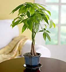 braided money tree plant care tips picture pachira aquatica. Black Bedroom Furniture Sets. Home Design Ideas