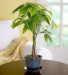 Braided Money Tree Plant Care Tips Picture Pachira Aquatica