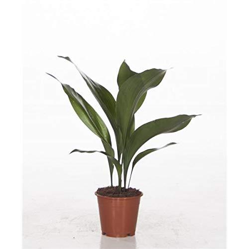 Aspidistra elatior 50 cm Schusterpalme Metzgerpalme Schildblume Zimmerpflanze