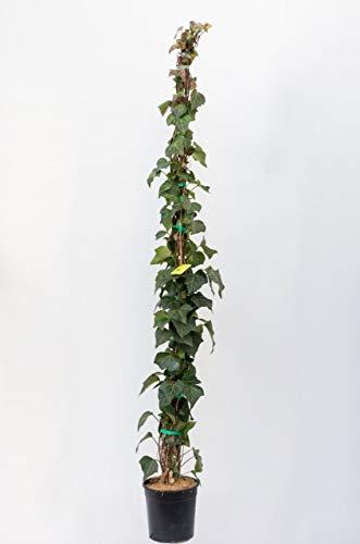 PLANTI' PIANTA VERA EDERA | Hedera Helix Green Wonder | Piante ornamentali sempreverdi, rampicanti adatte a muro, griglie e struttura a rete in legno.