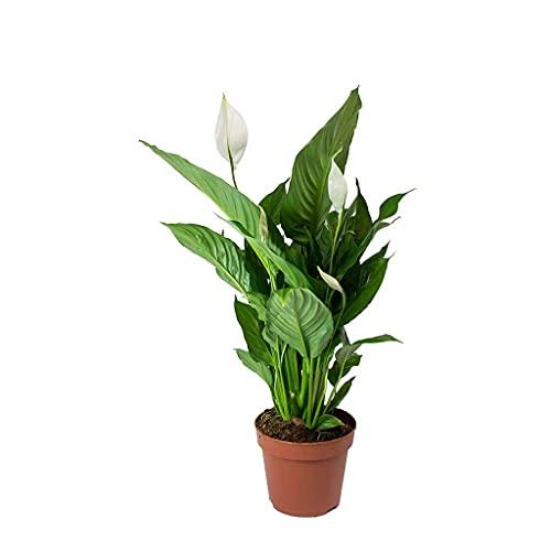 Spathiphyllum Planta Natural Lirio de la Paz o Espatifilo Planta de Interior