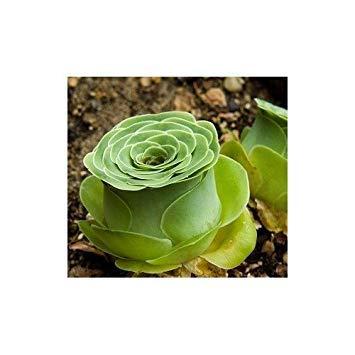 Fash Lady CR Secret Garden Plante Originale Greenovia Aurea ex Tenerife Rose Plante succulente Bureau Accueil Bureau bonsaï 10 graines Livraison Gratuite
