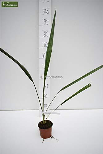 Zwerg Palmettopalme - Sabal minor - Gesamthöhe 40-50cm Topf Ø 14cm