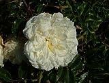 Apuldram Roses'ALBERIC BARBIER' - Rambling Rose (Potted)