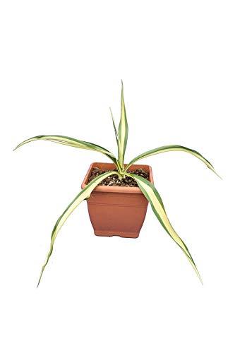 Fädige Palmlilie - Yucca filamentosa 'Color Guard' - Gesamthöhe 20-30cm Topf 14x14 cm
