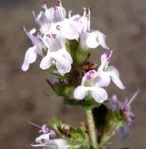 Weisser Polsterthymian - Thymus praecox