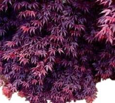 Olive Grove Acer Palmatum Bloodgood - Érable du Japon - Hauteur 90 cm - Grandes Plantes