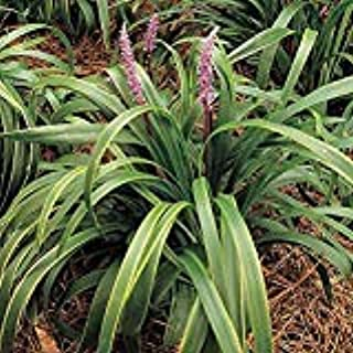 (25 Plants Classic Plants) Liriope muscari Gold Band Lily Turf has Variegated Leaf Blades, Green with Gold Borders. Blooms with Dense, Lavender Flower Spikes mid-Summer.