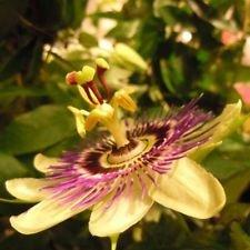 Rarissime passion jaune PASSIFLORA holosericea vigne 10 graines