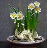 Nice, Healthy Bulbs - Express Love - Les bulbes de narcisses en papier-blanc sont prêts à se développer! (10)