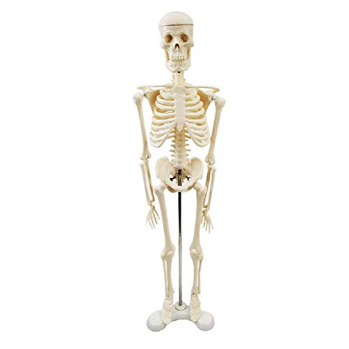Anatomical Skeleton Model Micro Human Skeleton Model Desktop Plastic Skeleton Measures 45cm Tall
