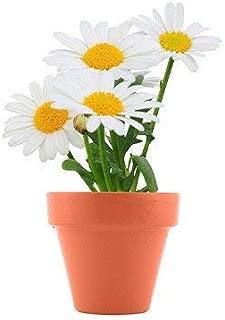 grow your own daisy kit