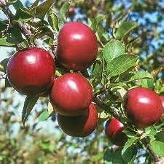 comprar comparacion Manzana manzana roja amor de frutas carnes rojas, árboles frutales en macetas se pueden plantar árboles frutales 50 semill...