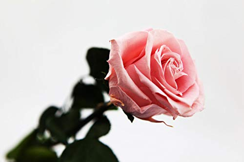 Rosen-Te-Amo, rosa konservierte ewige Rose (55 cm) mit herunterladbarer Grußkarte. Infinity Rosen als Deko Wohnzimmer oder Geburtstags-Geschenke für Frauen/Freundin in neue verstärkte Verpackung