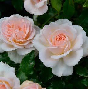 Edelrose Chandos Beauty 30-60cm