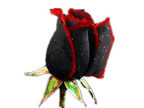 KINGDUO 100pcs Black Rose graines Fleur Red Edge Rare Rose Jardin graines de bonsaï