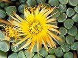 Keim Seeds: Fenestraria Rhopalophylla Exotic y Zehen Seeds Seed lebenden Felsen Seeds