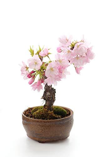 Seedeo Bonsai Anzuchtset Japanische Blüten- und Zierkirsche (Prunus serulata)