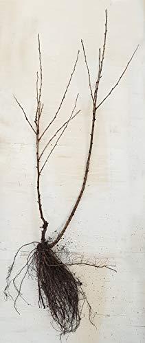 Stachelbeere - Captivator - dornenlose Pflanze und sehr süße Früchte