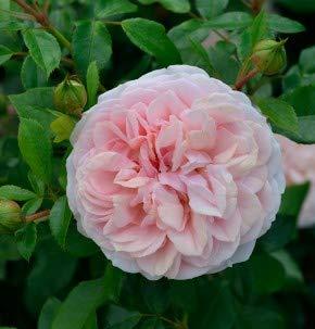 Floribundarose Garden of Roses 30-60cm