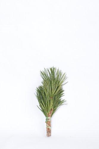 高野槇 コウヤマキ 40cm 高野山の霊木 仏壇用 お供え