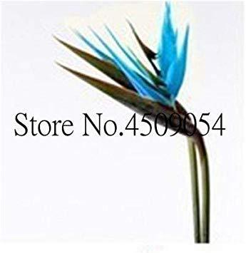 . Zimmerpflanzen Blumen Strelitzia Reginae Pflanzen Paradiesvogel Blumen Pflanzen für Garten und Jardin -100pcs Blüte: 18