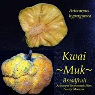 Cutdek ~Kwai MUK~ Artocarpus hypargyraeus Rare Fruit Tree Live Medium Size Potd Plant