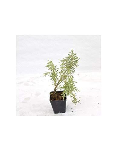 10x Piante di Gelsomino (Mix di varietà) Vaso 7cm, H.10cm