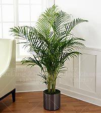 10 pcs/sac bouteille arbre palmier Graines de plantes exotiques arbre Bonsai pot tropical plante à feuilles persistantes de fleurs d'ornement pour le jardin à la maison