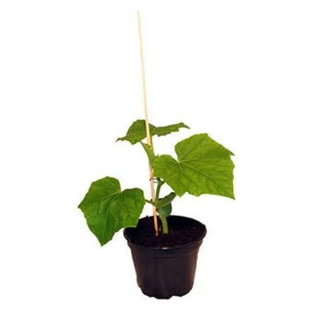 Veredelte Schlangengurke, Gurkenpflanze auf Kürbis veredelt Normale Fruchtgröße!