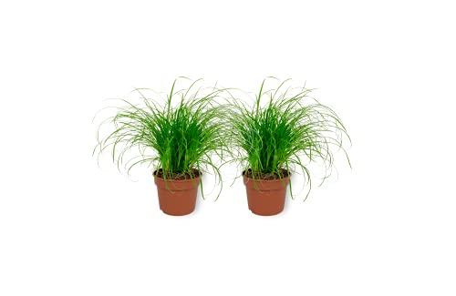 WL PLANTS - Cyperus Zumula - Katzengras - Zimmerpflanze im Kulturtopf - Höhe +/- 25cm inklusive Topf - 12cm diameter (Topf) - Zyperngras Zimmerpflanze Geeignet für Katzen - 2 Stück
