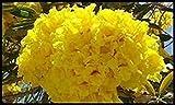 Genipap 20 piezas de árbol de flores bonsai Jacaranda amarillo