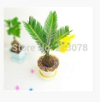 PRODUITS HOO - graines de plantes, graines cycas Cycas mini bonsaïs, 1 pcs cycas/sac Nouvelle arrivée!