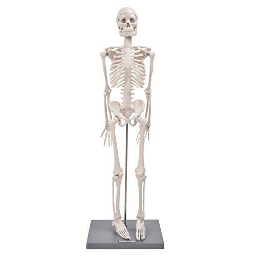 Modelo de esqueleto humano - Modelo de esqueleto de réplica anatómica de 85 cm Incluye base y varilla de soporte - Herramienta de ayuda para la enseñanza visual de enseñanza anatómica