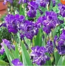 Livraison gratuite 5 violet Graines Iris, vivace fleur de jardin, plus facile fleur croissante de coupe