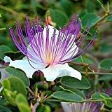 PlenTree Las semillas de la alcaparra Bush (Capparis spinosa) 25 + Semillas (50+)