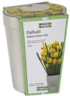 'Kit pour la culture avec bulbes de Narciso jaune\