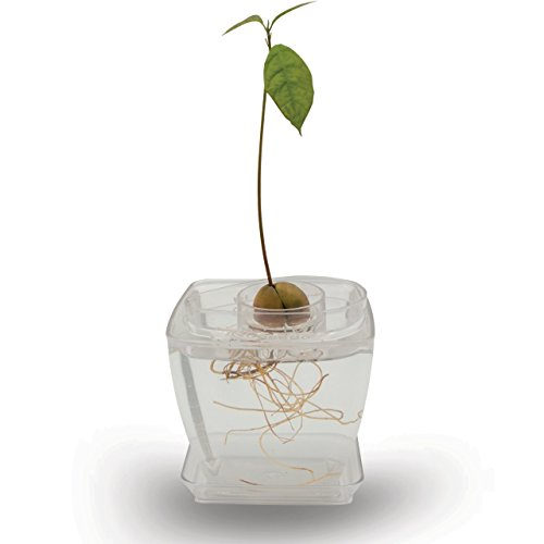 AvoSeedo Bowl Set Grow Your Own Avocado Tree, Evergreen, Perfect Avocado Tree Growing Kit for Every Avocado Lover with Plan Pot (Kit-Transparent/Transparent)