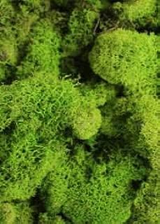 Afloral Spring Green Preserved Reindeer Moss