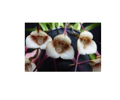 Rare Bestselling Joli visage de singe Orchidée Jardinerie Balcon Plante en pot Graines de visage de singe de 120 PCS 12