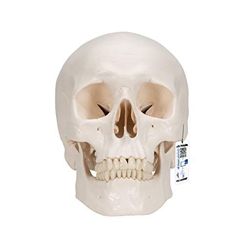 3B Scientific A20 Classic Skull 3-part - 3B Smart Anatomy