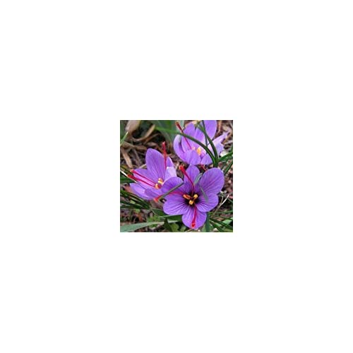 ebcba812759ed3 Rotteveel Bulb Saffron Crocus 10 Bulbs - Rare Spice - Fall Blooming - Crocus  Sativus