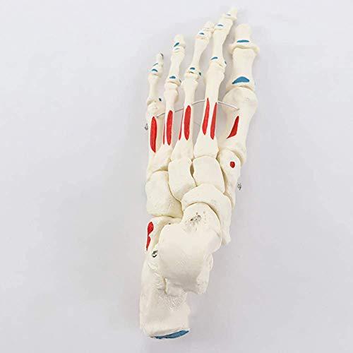 1: 1 model van een menselijk enkelgewricht in ware grootte, anatomisch model, skelet - Menselijke Anatomie Medisch Laboratorium benodigdheden Medische Onderwijs Model,White