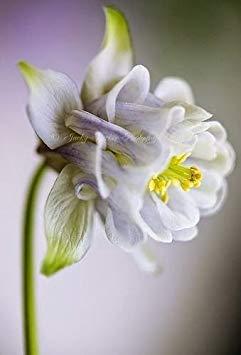 VISTARIC mixte: Double Dahlia Seed Mini Mary Fleurs Graines Bonsai Plante en pot bricolage jardin odorant Fleur, croissance naturelle de haute qualité 50 Pcs