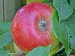 Apfel Prinz Albrecht von Preußen Busch im 7,5 l Topf, 60 cm Stammhöhe