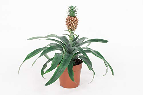 Ananas Cumosos - Ananaspflanze Zierananas - Zimmerpflanze im Kulturtopf - Höhe +/- 25cm inklusive Topf - 12cm Durchmesser (Topf) - Pflegeleicht Luftreinigung