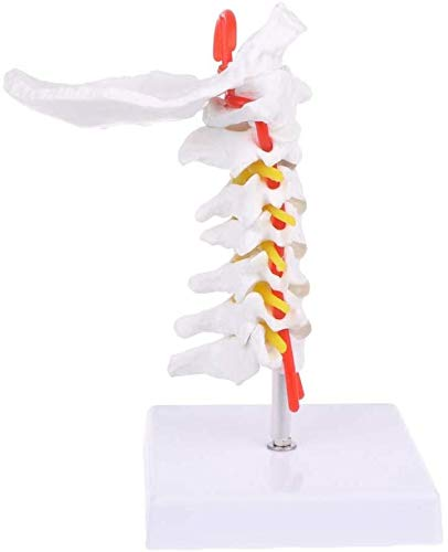 Simulierte anatomisches Modell Halswirbel Modell zeigt Bony Sehenswürdigkeiten der Halswirbelsäule und hat Hinterhauptsbein for Wissenschaft Klassenzimmer Studie Life Size Menschliches Organ Modell
