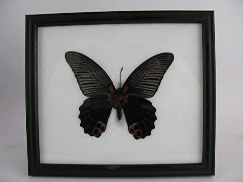asiahouse24 Great Mormon (Papilio Memnon) schwarz - echter riesiger und exotischer Schmetterling im Schaukasten, Bilderrahmen aus Holz - gerahmt - Taxidermy